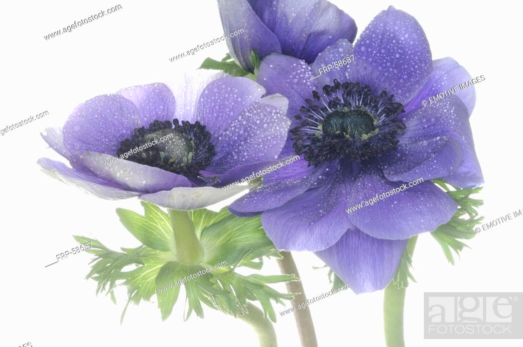 Stock Photo: close-up of an anemone.