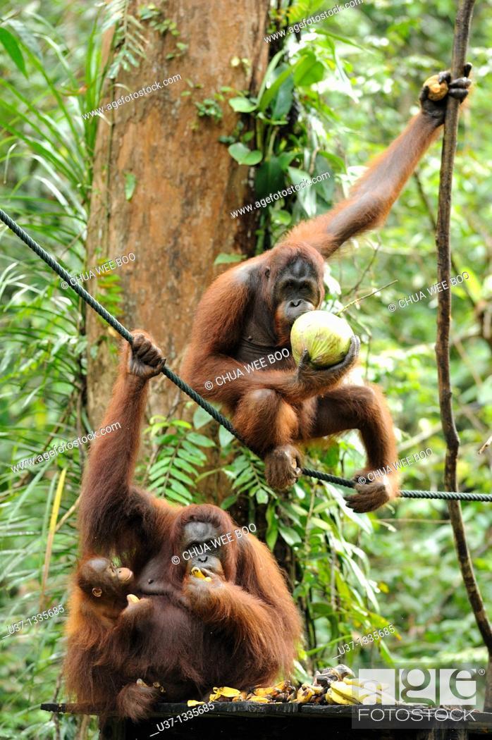 Stock Photo: Orangutans. Semengoh Wildlife Centre, Sarawak, Malaysia.