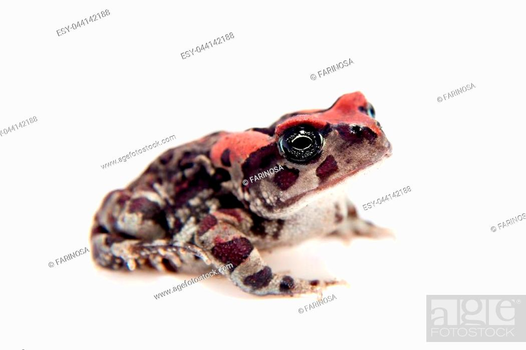 Stock Photo: The Beautyful toad, isolated on white background.