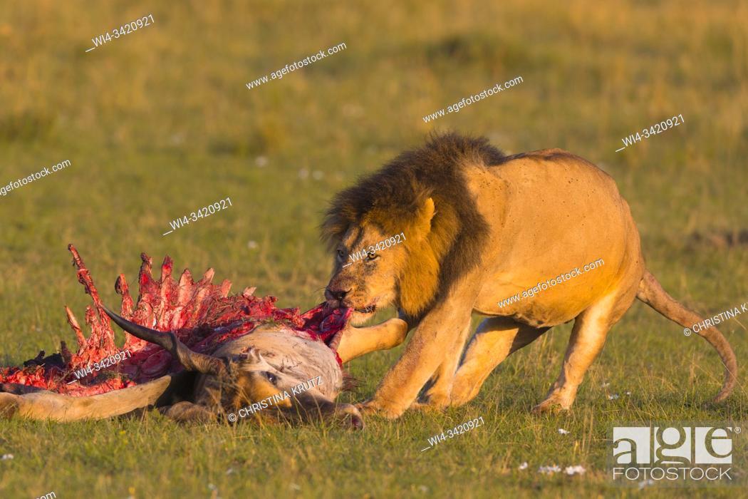 Stock Photo: African lion (Panthera leo), male with eland kill, Masai Mara National Reserve, Kenya, Africa.