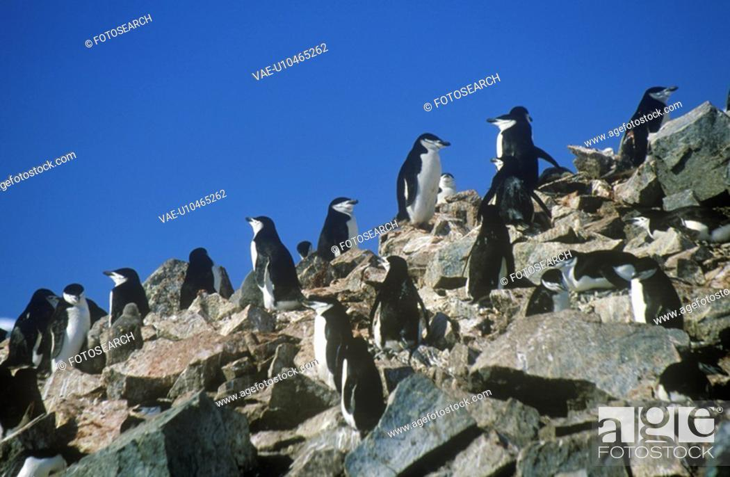 Stock Photo: Chinstrap penguins Pygoscelis antarctica.