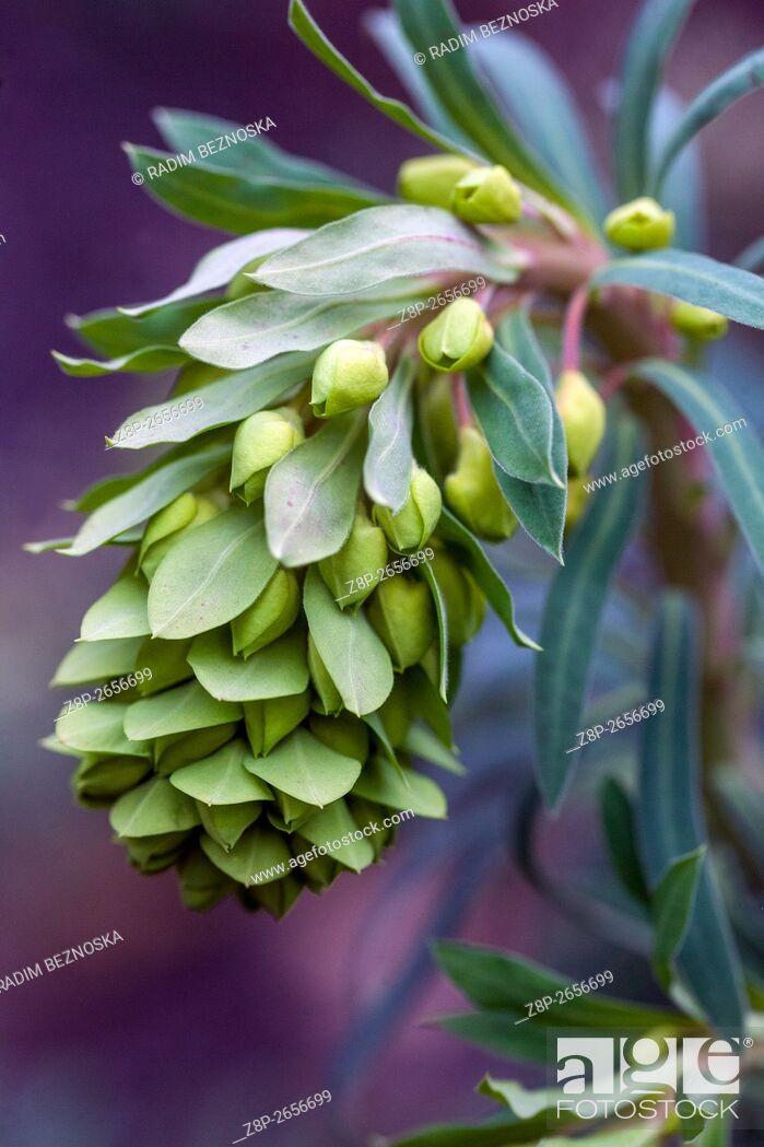 Imagen: Euphorbia characias subsp. wulfenii, Mediterranean spurge in early spring.