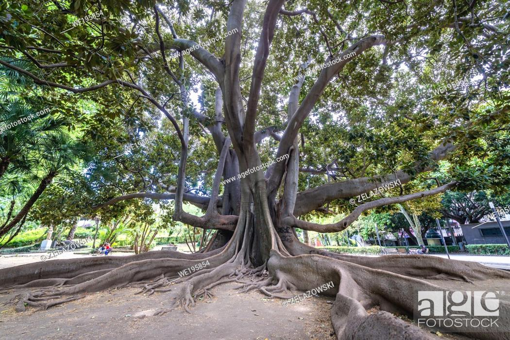Stock Photo: Ficus macrophylla old tree in Giardino Bellini also called Villa Bellini, oldest park in Catania, second largest city of Sicily island in Italy.