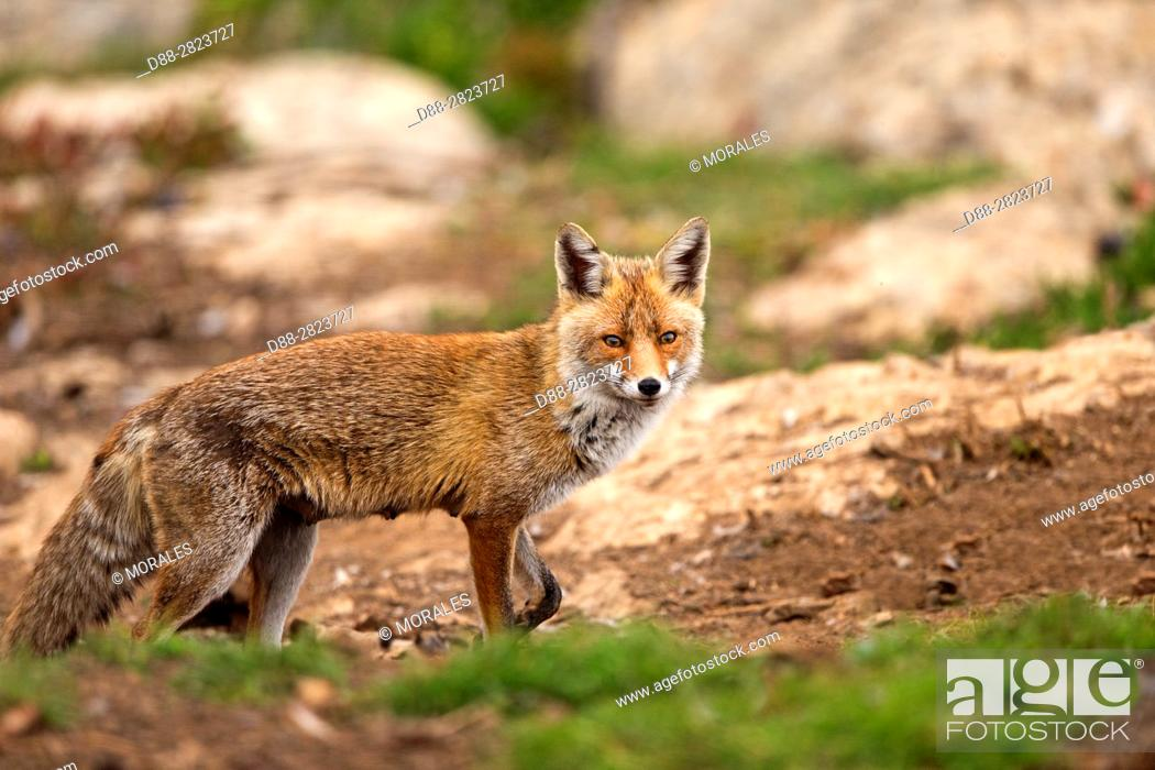 Stock Photo: Spain, Province of Lleida, Red Fox (Vulpes vulpes), coming at a feeding station to find food.