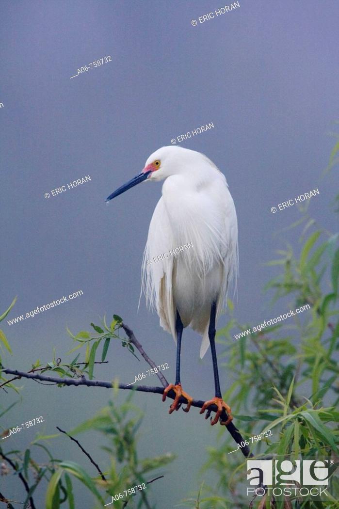 Stock Photo: Snowy Egret (Egretta thula).