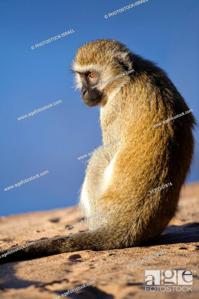 Stock Photo: Vervet monkey (Chlorocebus pygerythrus). These monkeys are native to Africa. They are found mostly throughout Southern Africa.
