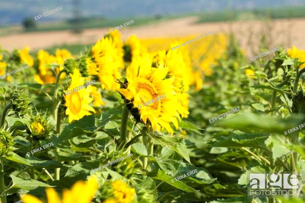 Stock Photo: Photo of blooming sunflower field.