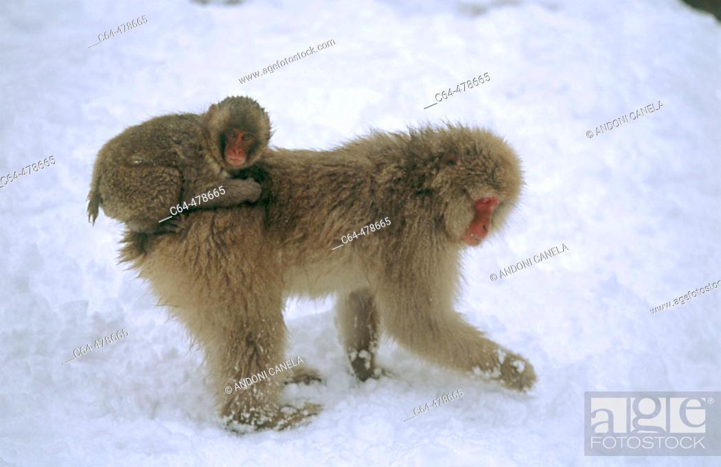 Stock Photo: Japanese macaque (Macaca fuscata). Jigokudani. Joshinetsu National Park. Japan.