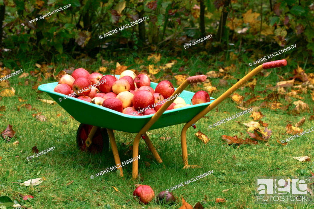 Stock Photo: A small children's weel-barrow full of red apples in the autumn.