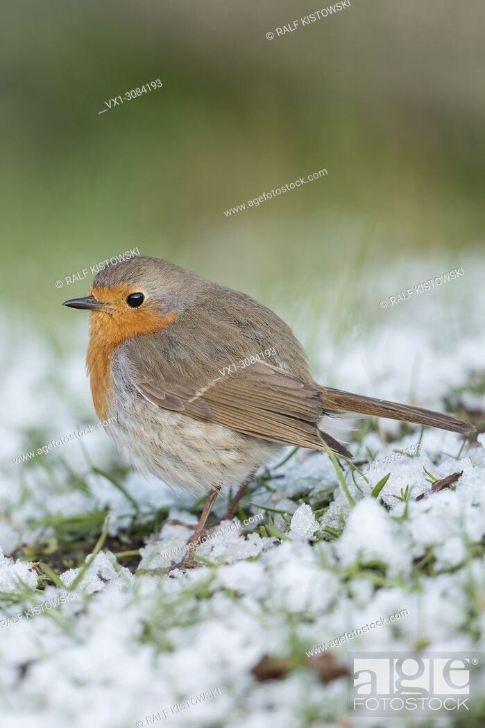 Stock Photo: Robin Redbreast ( Erithacus rubecula ), fluffy, sitting on the ground, rests of snow, late onset of winter, side view, wildlife, Europe.