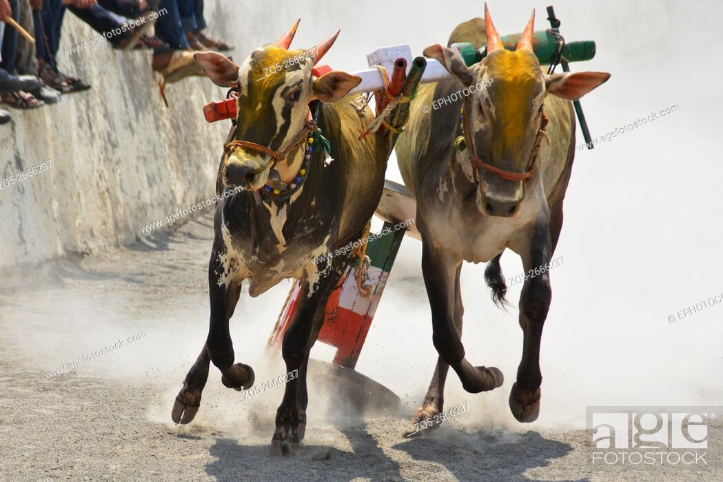 Imagen: Traditional Bullock cart racing ( bailgada sharyat ) Maharashtra , India.
