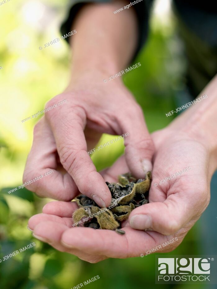 Stock Photo: Handful of rose seeds.