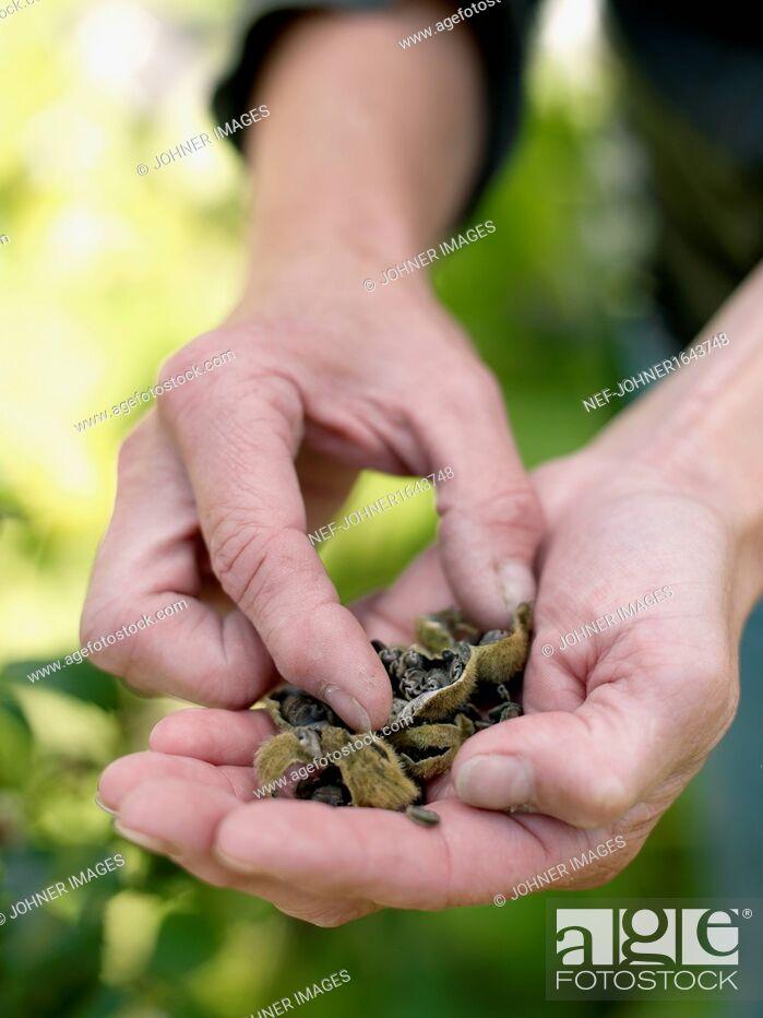 Imagen: Handful of rose seeds.