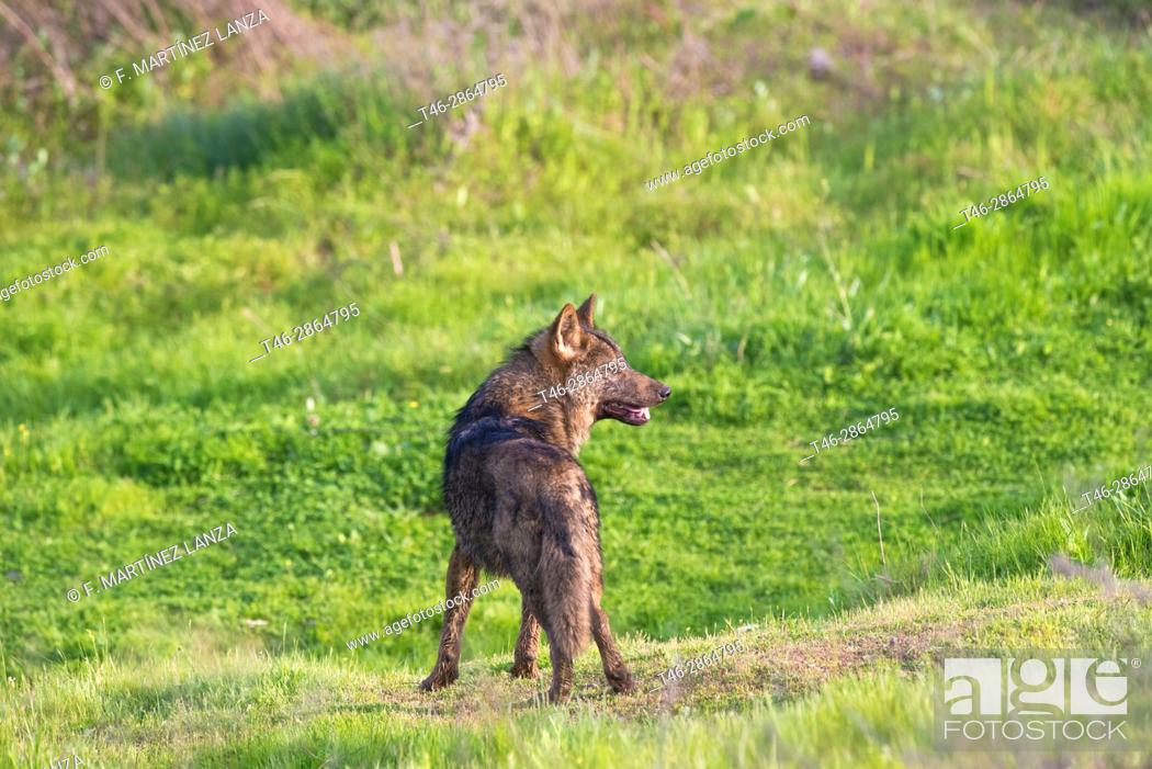 Stock Photo: Wolf (Canis lupus), Photographed under controlled conditions in Guillena - Las Pajanosas, Seville.