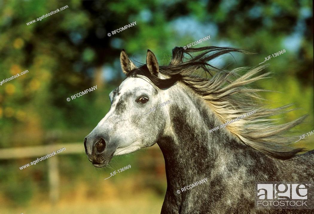 Stock Photo: Arabian horse - portrait.