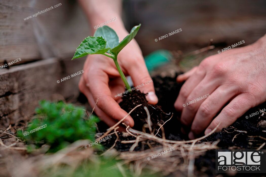Stock Photo: Man planting seedlings in soil.