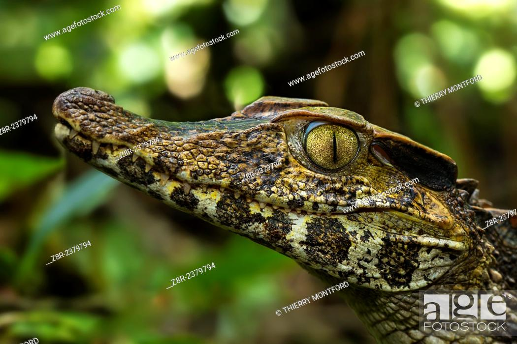 Stock Photo: Paleosuchus palpebrosus. Portrait of a dwarf caiman in the forest. French Guiana.