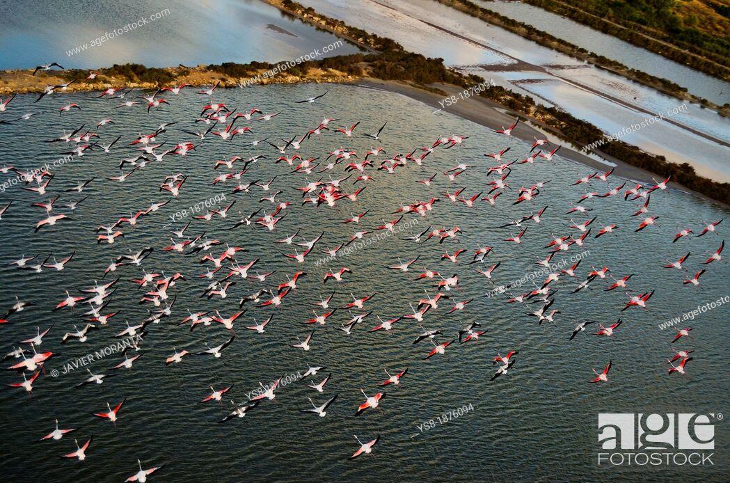 Stock Photo: Spain, Balearic Islands, Mallorca, Flamingos in flight.
