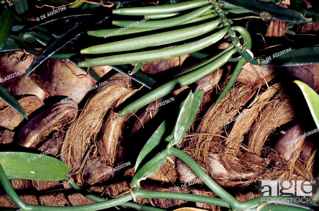 Stock Photo: Vanilla pods (Vanilla tahitensis), Orchidaceae, French Polynesia (French Overseas Territory).