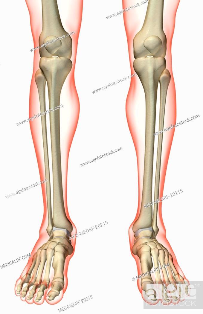 Stock Photo: The bones of the leg.