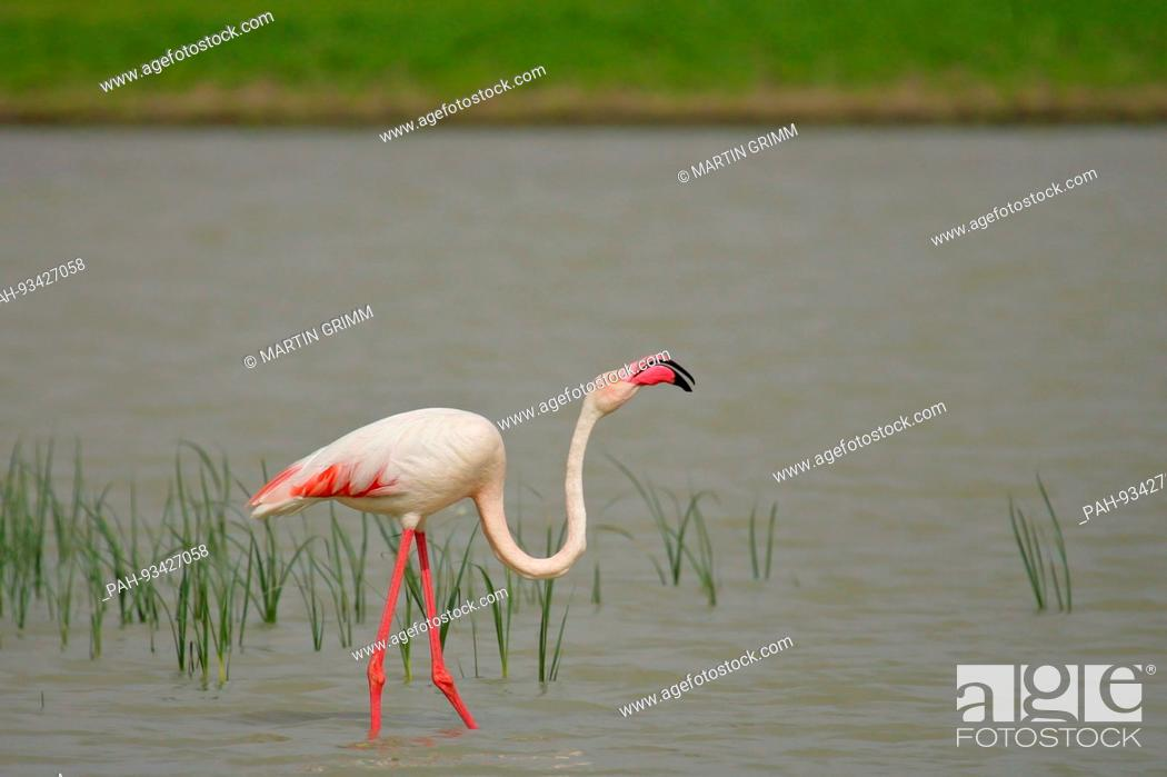 Stock Photo: Greater Flamingo (Phoenicopterus roseus) foraging in shallow water, Andalusia, Spain | usage worldwide. - /Andalusien/Spain.