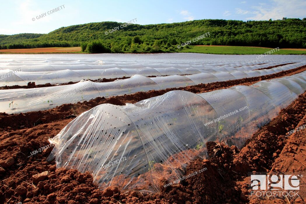 Stock Photo: greenhouse structures fitted over crops in the field to accelerate growth.
