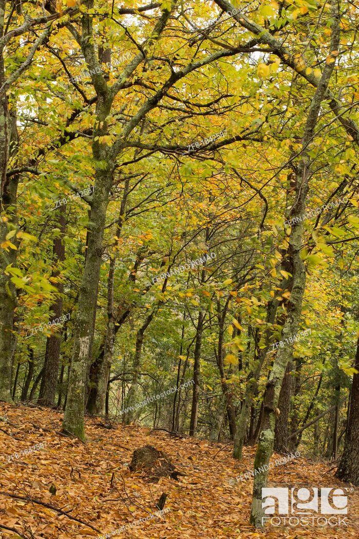 Imagen: Chestnut forest at Lousã Mountain, Portugal.