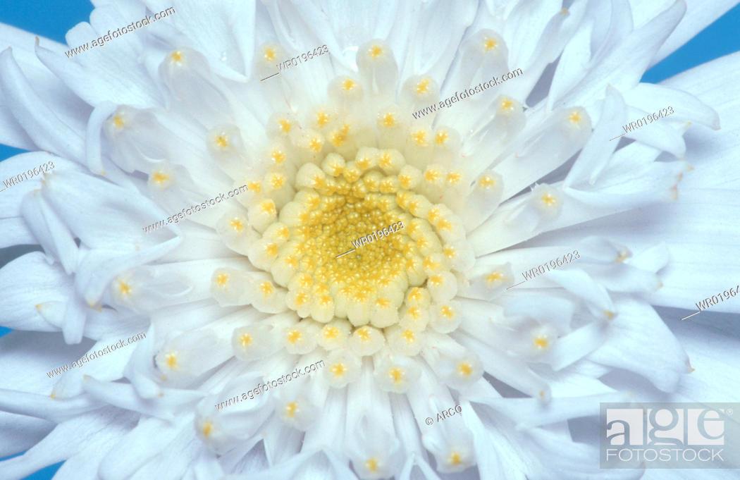 Stock Photo: Daisy, Chrysanthemum, maximum.