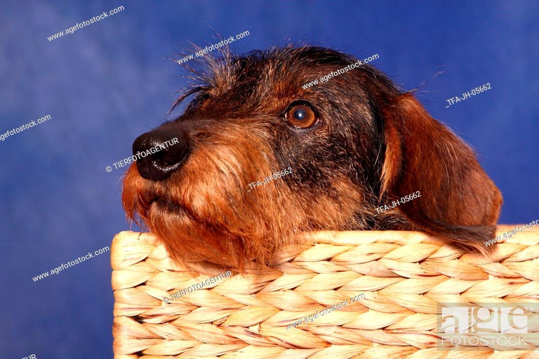 Stock Photo: teckel in basket.