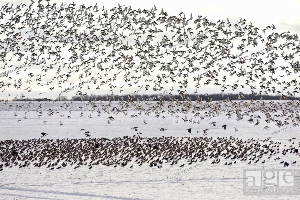 Imagen: envol de vanneaux huppes (Vanellus vanellus) , departement d'Eure-et-Loir, region Centre-Val de Loire, France, Europe/flight of northern lapwing (Vanellus.