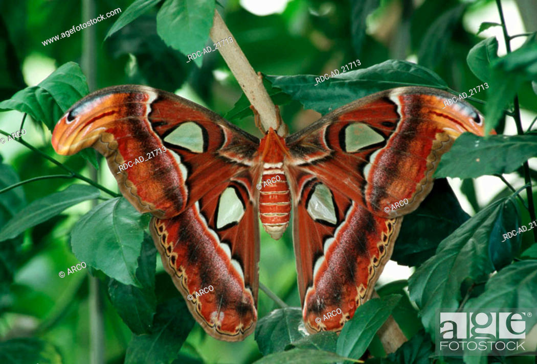 Atlas Moth Size