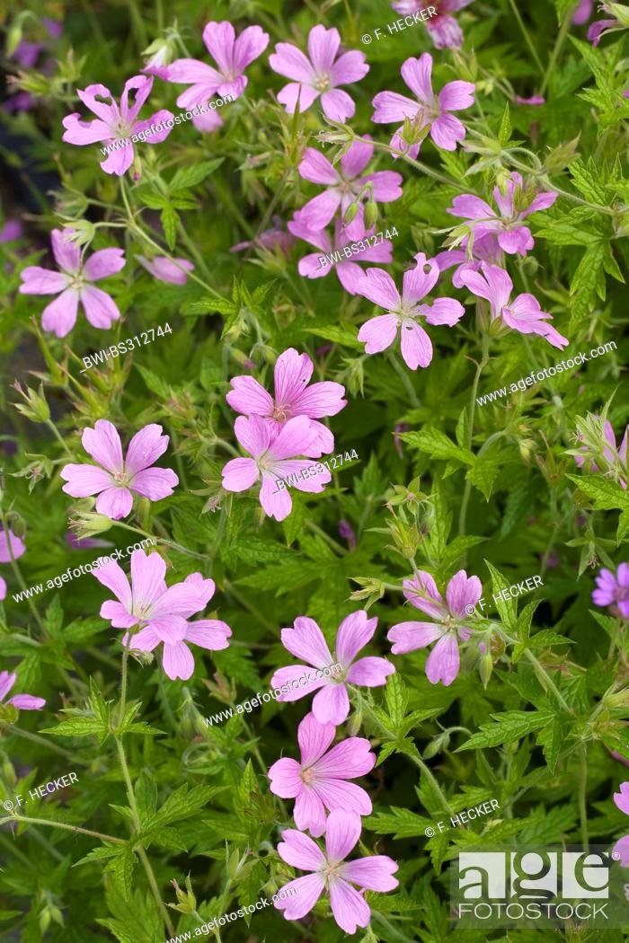 Stock Photo: French Cranesbill (Geranium endressii), blooming.