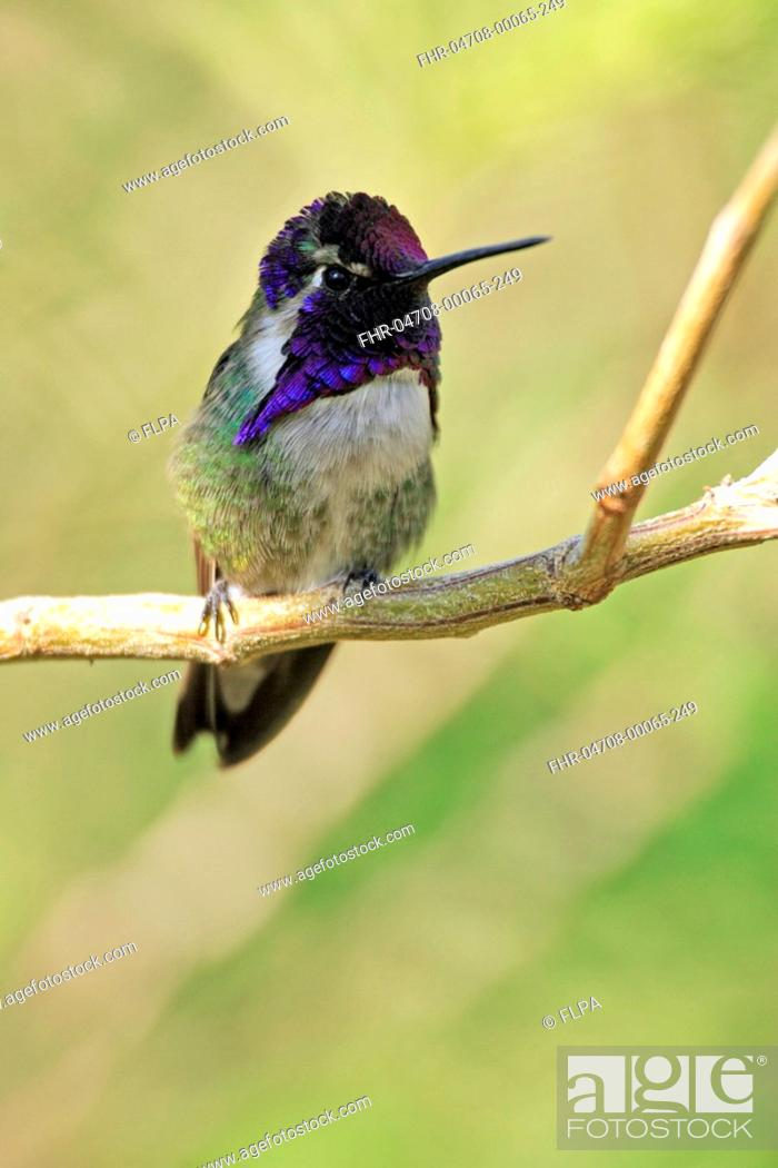 Stock Photo: Costa's Hummimgbird Calypte costae adult male, perched on twig, Sonora Desert, Arizona, U S A.