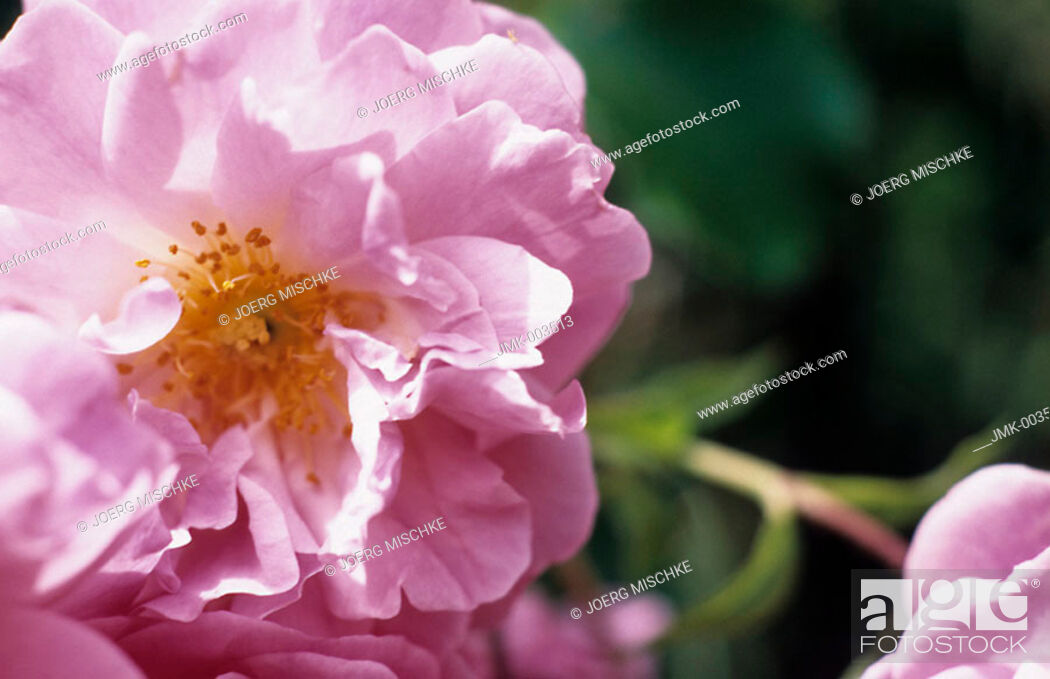 Stock Photo: A pink rose in the garden.