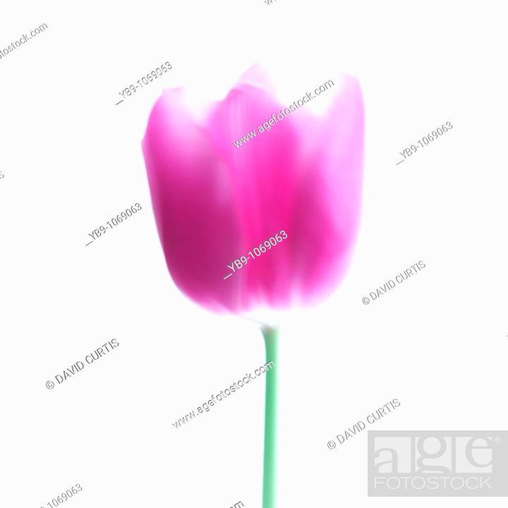 Stock Photo: Soft focus Tulip Portrait.