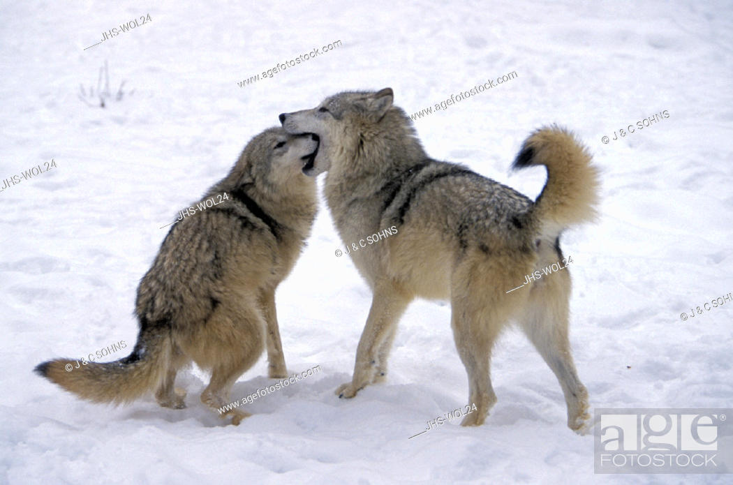 Stock Photo: Gray Wolf , Grey Wolf , Canis lupus , Montana , USA , America , adult couple , pair  in snow social behaviour.