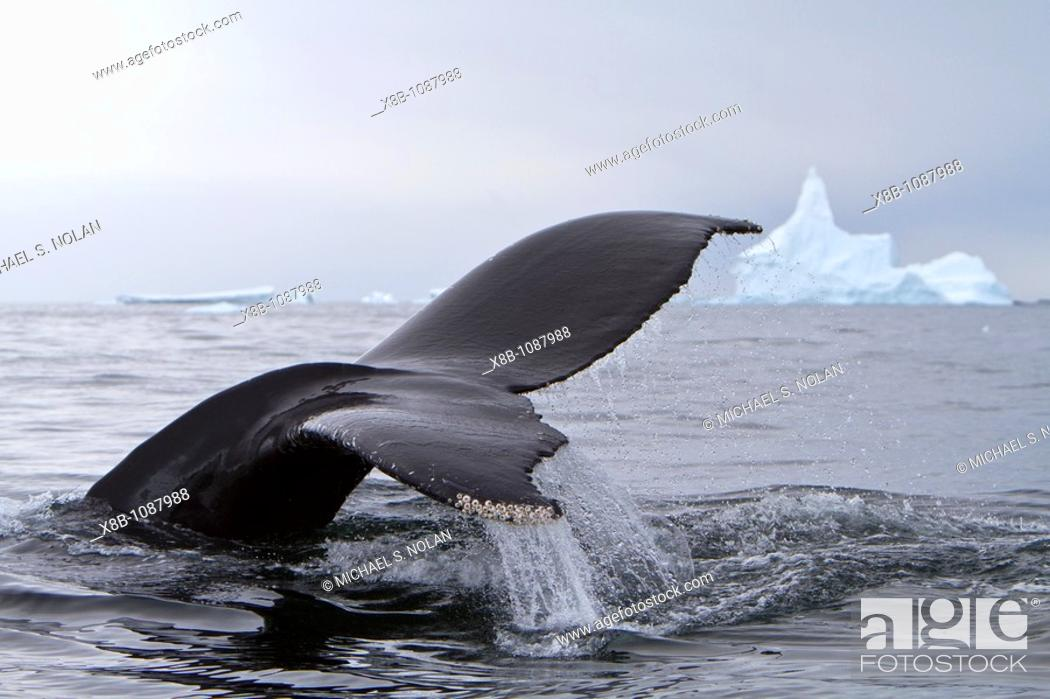 Stock Photo: Humpback whale Megaptera novaeangliae flukes-up dive near the Antarctic Peninsula, Antarctica, Southern Ocean  MORE INFO Humpbacks feed only in summer.