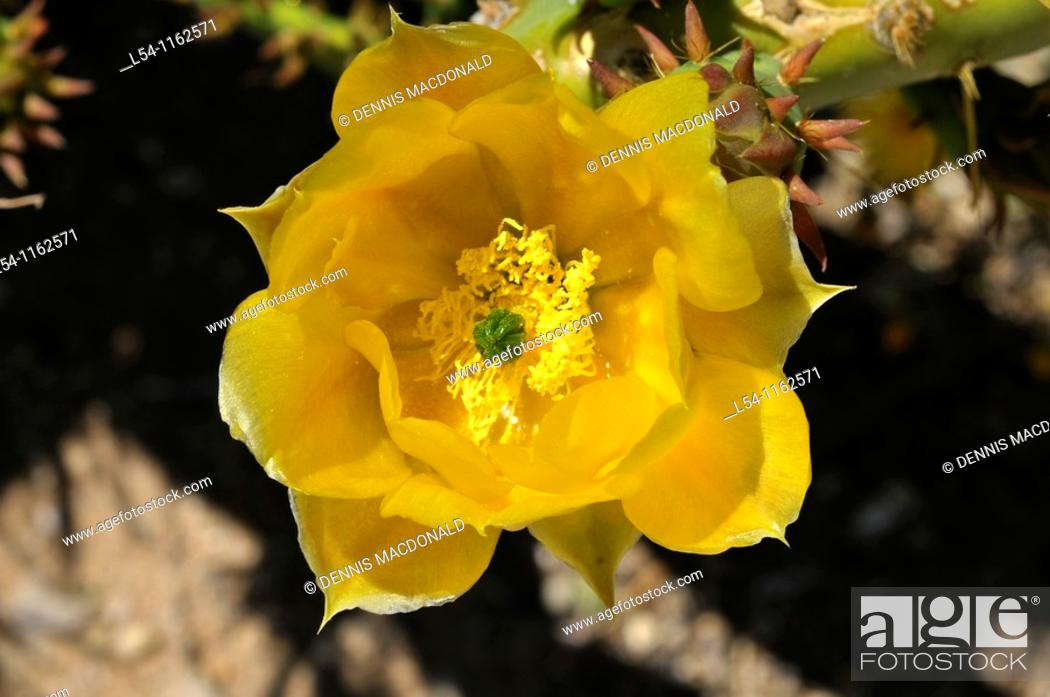 Stock Photo: Yellow Flowering Cactus at Living Desert Zoo and Gardens Carlsbad New Mexico.