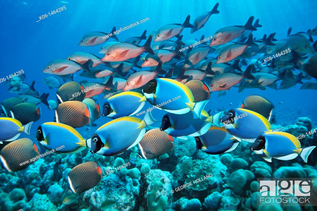 Stock Photo: Powder-blue surgeonfish  Acanthurus leucosternon , with Redtail or Collare butterflyfish Chaetodon collare and Paddletail snappers Lutjanus gibbus over coral.