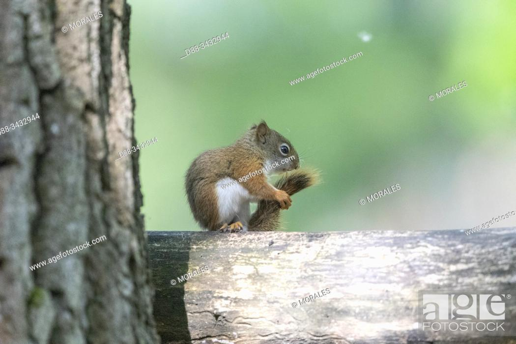 Stock Photo: United States, Michigan, . red squirrel or Eurasian red squirrel (Sciurus vulgaris.