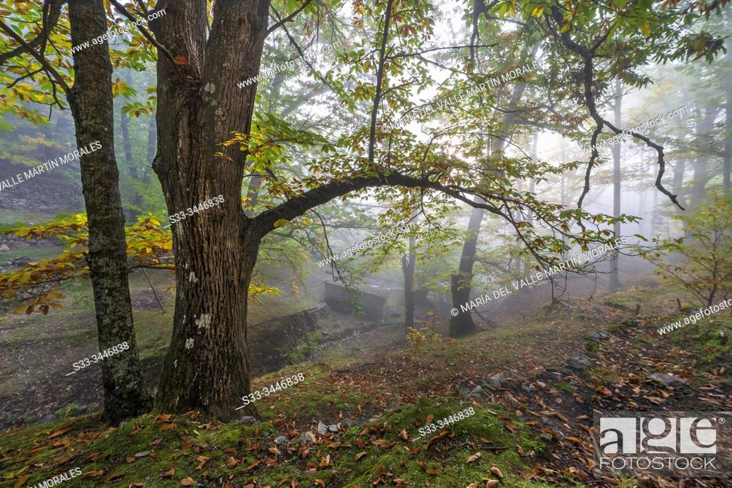 Stock Photo: Fall and fog at Linar chestnut in Casillas. Avila. Spain. Europe.