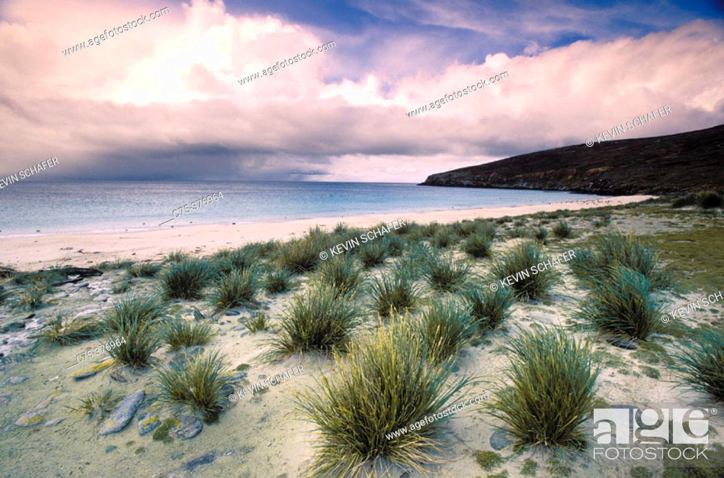 Stock Photo: Tussock Grass (Poa flabellata).  Falkland Islands.