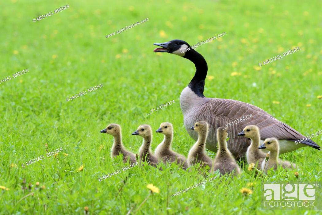 Stock Photo: Canada Goose with Goslings (Branta canadensis), Hesse, Germany, Europe.