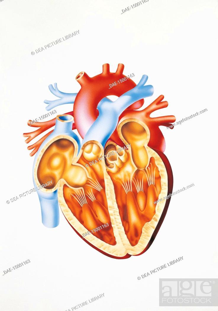 Medicine Human Anatomy Circulatory System Heart Section Drawing