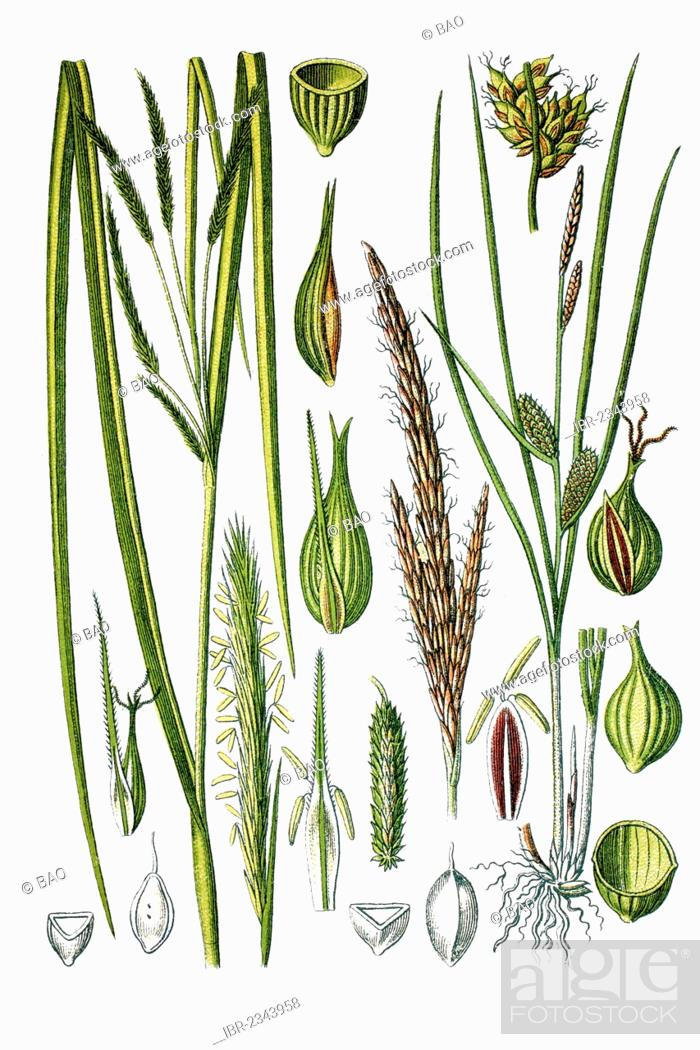 Stock Photo: Left, Cypress-like Sedge (Carex pseudocyperus), right, Beaked Sedge (Carex rostrata), medicinal plants, historical chromolithography, ca. 1786.