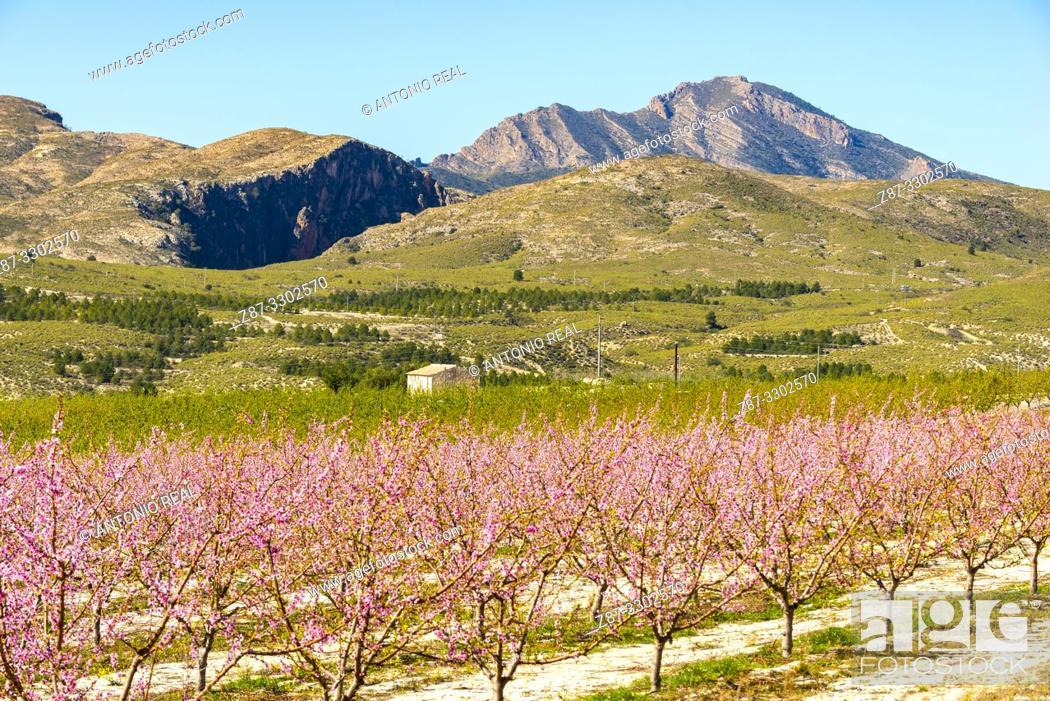 Stock Photo: Flowering. Peach trees in bloom. Cieza. Murcia. Spain.