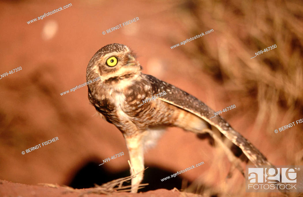 Stock Photo: Burrowing owl (Athene cunilaria) sitting in front of a rabbit burrow. Stretching the wings. Chapada dos Guimaraes. Brazil.