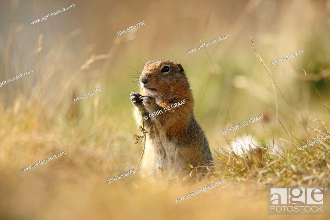 Imagen: Arctic Ground Squirrel (Spermophilus parryii) standing in grass, eating vegetation, United States, Alaska, Denali National Park and Preserve.