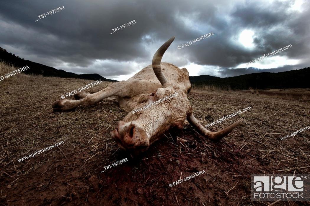 Stock Photo: Dead cow, Gudar, Teruel, Spain.