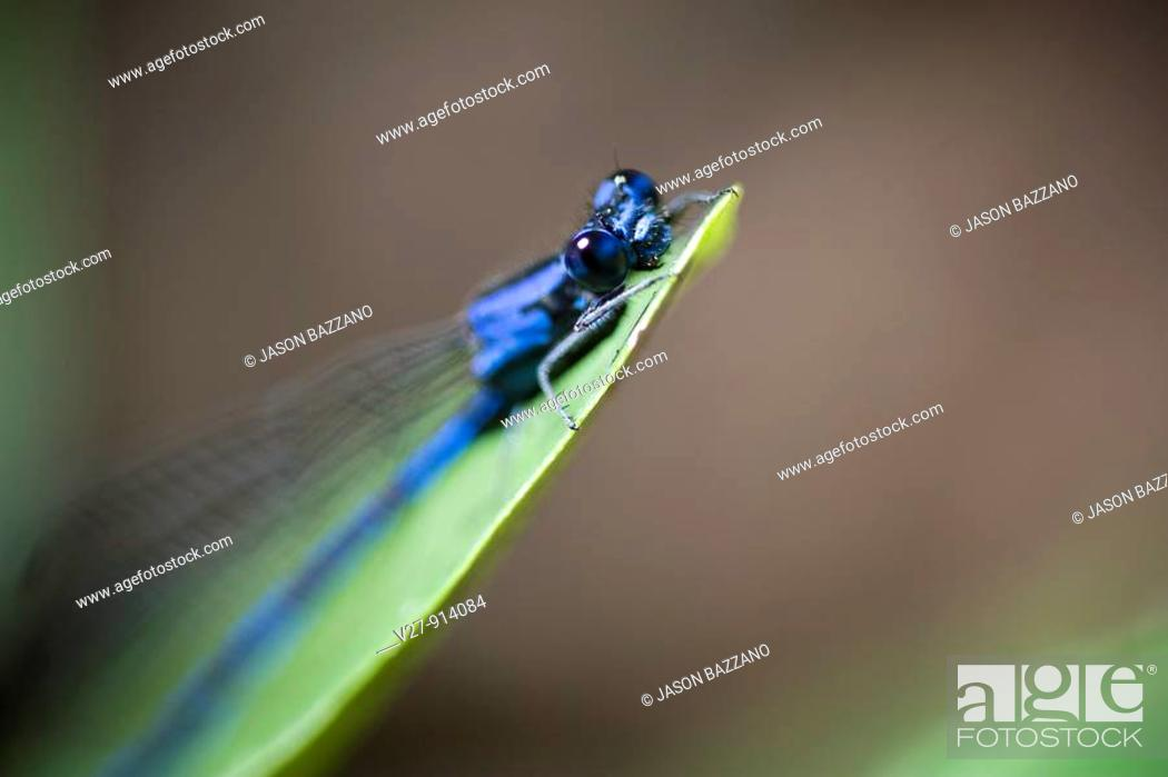 Stock Photo: Blue damselfly, order Odonata, suborder Zygoptera  Photographed in the mountains of Costa Rica.